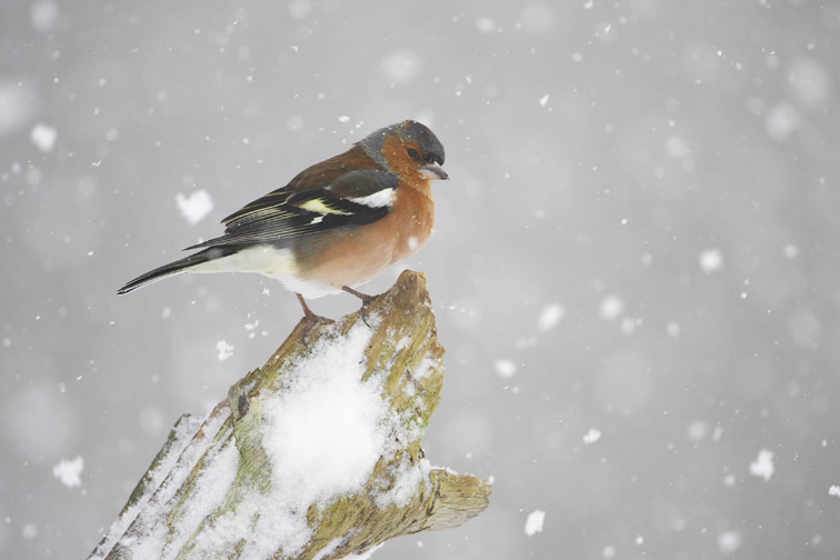 Chaffinch (Fringilla coelebs) adult male perched in falling snow. Scotland. February 2006.