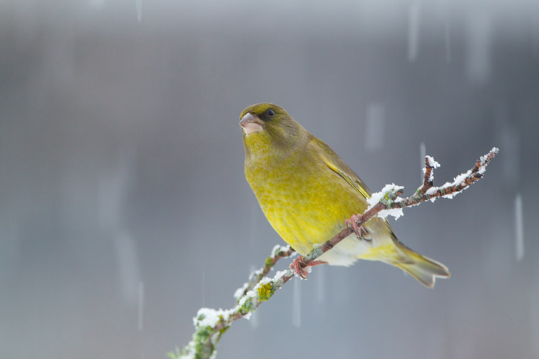 Greenfinch (Carduelis chloris) male perched on branch in snow, Scotland, UK