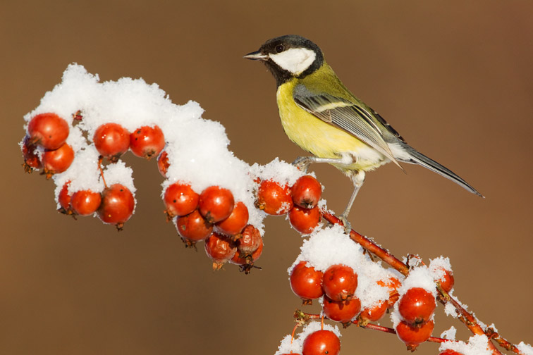 Great tit Parus major perched on crab apple in snow, Scotland, January