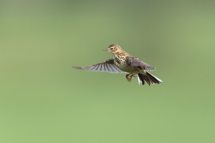 Meadow Pipit (Anthus pratensis) adult hovering in flight