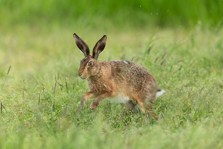 Brown Hare (Lepus capensis) running through grass meadow