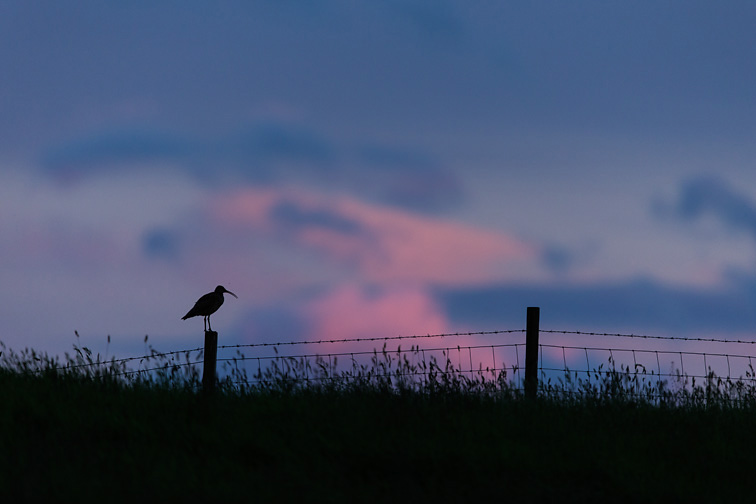 Curlew (Numenius arquata) perched on fence post at sunset