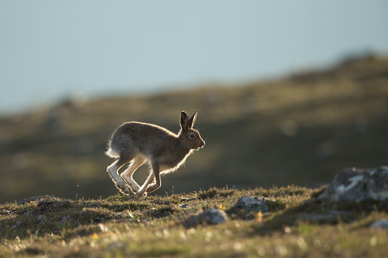 Mountain Hare (Lepus timidus) running across moorland, Scotland