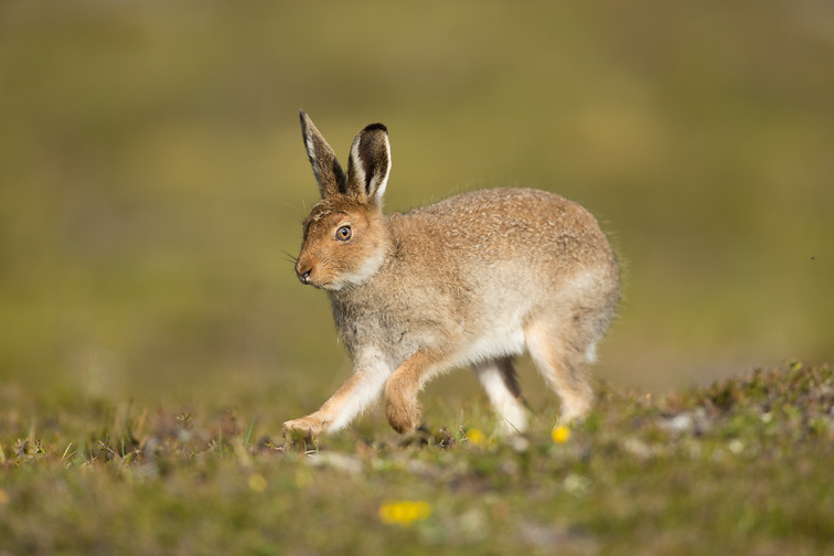 Mountain Hare (Lepus timidus) youngster running across moorland, Scotland
