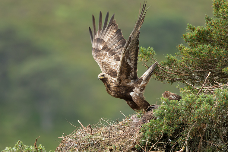 Golden eagle (Aquila chyrsaetos) adult flying away from nest site in pine tree, Cairngorms National Park, Scotland