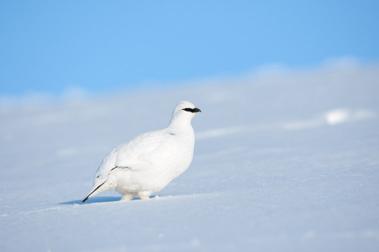 Ptarmigan (Lagopus mutus) adult male in winter plumage on snow, Grampian Mountains, Scotland, February 2010