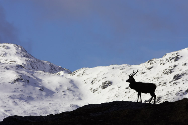 Red Deer (Cervus elaphus) stag silhouetted on ridge with snow-covered mountains in background. Northwest Highlands, Scotland.