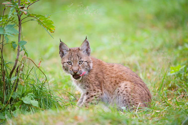 European lynx (Felis lynx) young kitten in woodland in late summer(captive). Norway, September 2009