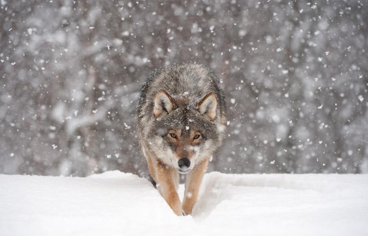 European wolf (Canis lupus) walking towards camera in falling snow (taken in controlled conditions). Norway, March 2009.