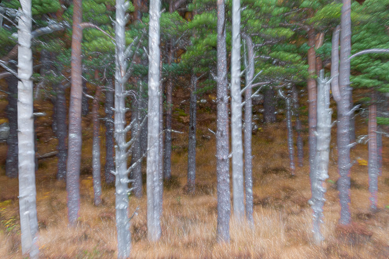 Stand of pine trees (image created using multiple exposure technique)