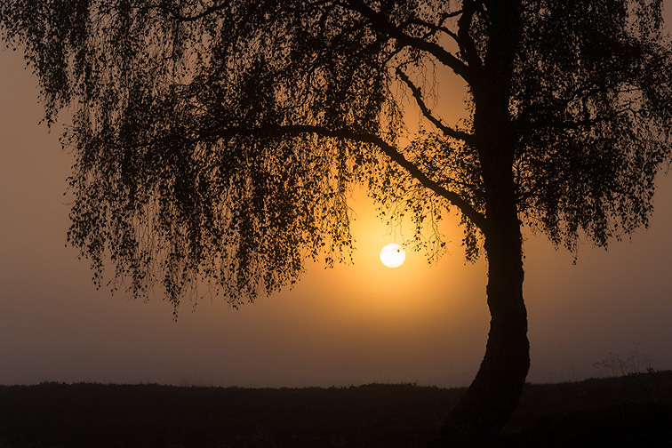 Silver birch (Betula pendula) silhouetted at sunrise