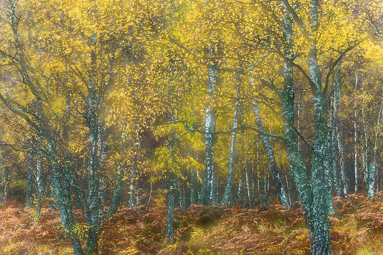 Impression of birch woodland in autumn created using multiple exposures in camera