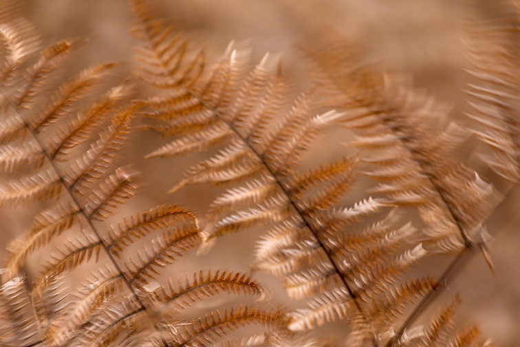 Bracken (Pteridium aquilinum) close-up in late autumn