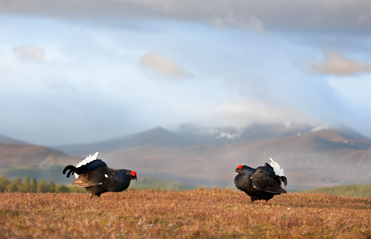 Black grouse Tetrao tetrix adult males displaying at lek on heather moorland with Lochnagar in background. Near Ballater, Cairngorms National Park, Scotland. May 2009. Taken from hide on edge of lek.