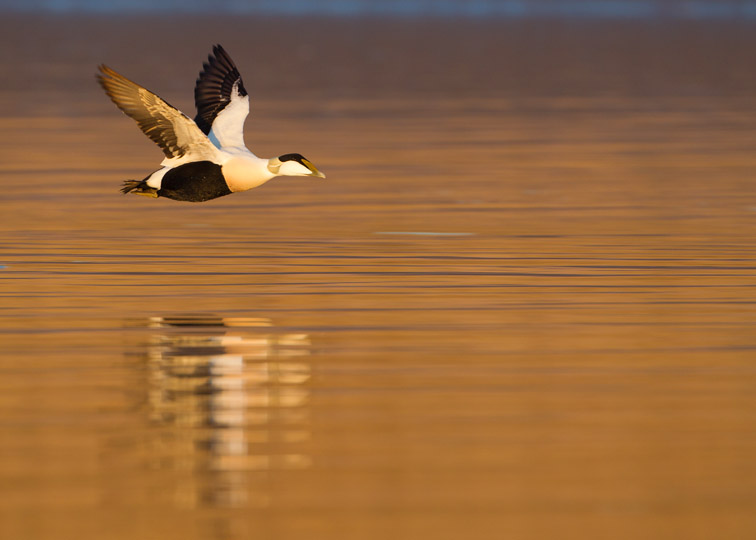 Eider (Somateria mollissima) male in flight in evening light, Aberdeenshire , Scotland, UK