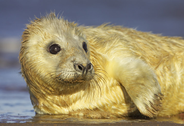 Grey Seal (Halichoerus grypus) portrait of young pup on edge of water. UK. November 2005.