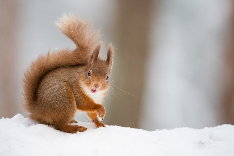Red Squirrel Sciurus vulgaris in winter coat in snow. Scotland. January.