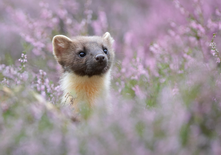 Pine marten (Martes martes) portrait of young female amongst flowering heather. Scotland. August 2007.