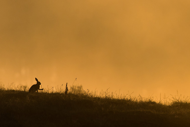 Brown Hare (Lepus capensis) silhouetted at sunrise