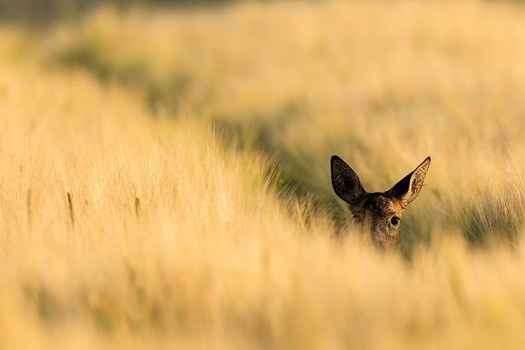 Roe Deer (Capreolus capreolus) doe peering out from crop of barley