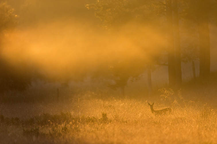 Roe Deer (Capreolus capreolus) doe in rough grassland in early morning mist