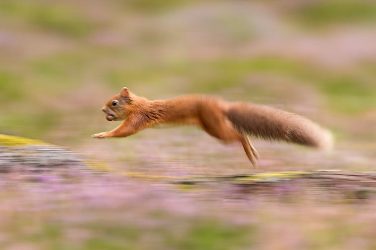 Red Squirrel (Sciurus vulgaris) adult in summer coat running across fallen log
