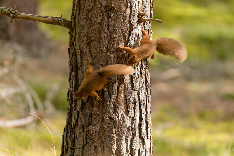 Red Squirrel (Sciurus vulgaris)  two animals chasing each other around pine trunk