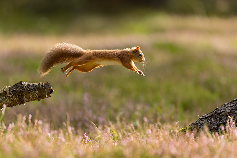 Red Squirrel (Sciurus vulgaris)  adult in summer coat leaping between fallen logs