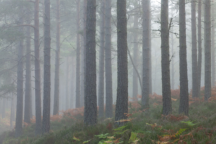 Scots pine (Pinus sylvestris) woodland interior in mist, Abernethy Forest, Scotland