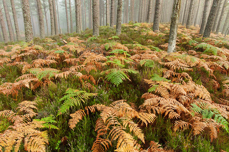 Scots pine (Pinus sylvestris) woodland and Bracken in autumn, Abernethy Forest, Scotland