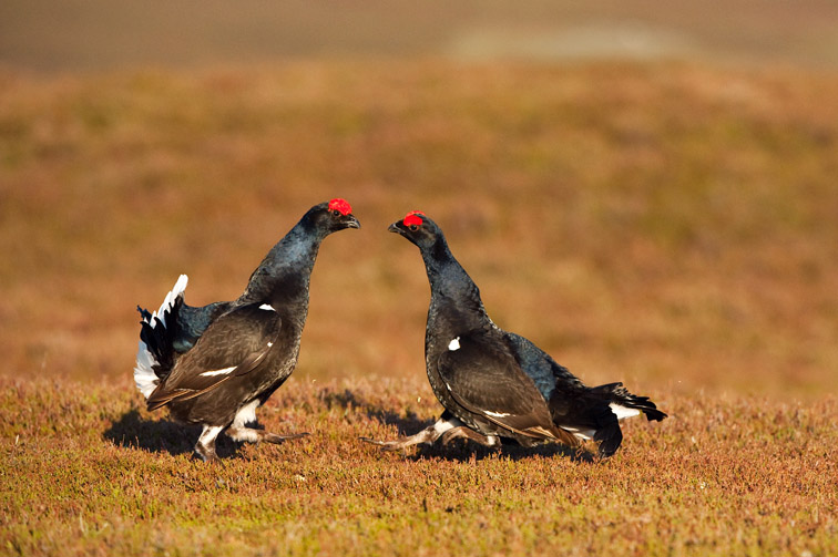 Black grouse Tetrao tetrix, two males fighting at lek, Scotland, April