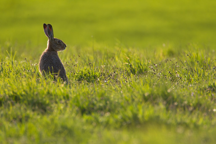 Brown hare (Lepus capensis) in arable field on farmland, Scotland, UK