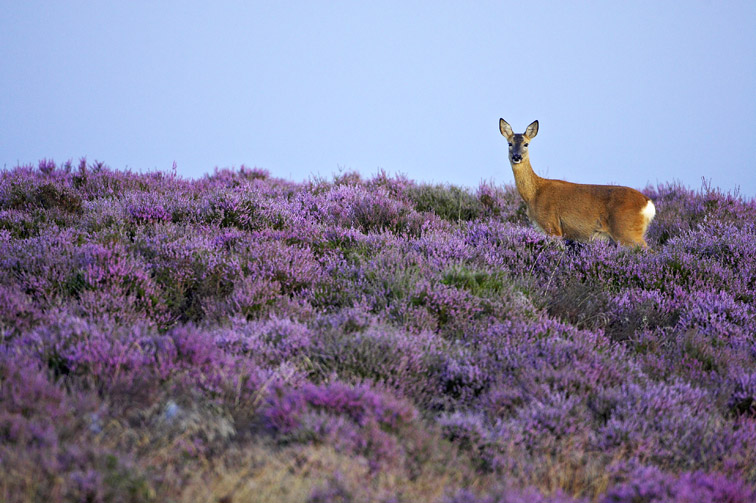 Roe Deer (Capreolus capreolus) doe (female) on heather moor in late summer. Scotland. August 2005.