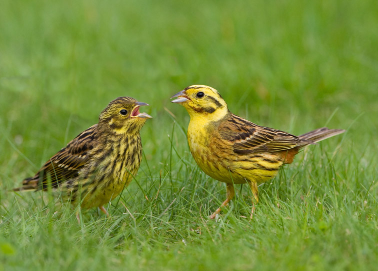 Male yellowhammer feeding recently fledged chick. Scotland. July.
