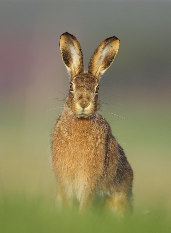 Brown Hare (Lepus capensis) portrait of adult in grass field in early morning light. Scotland.