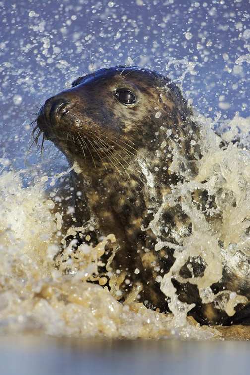 Grey Seal (Halichoerus grypus) portrait of female (cow) in breaking surf. UK. November 2005.