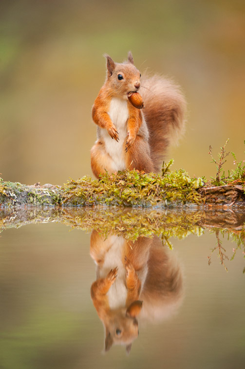 Red squirrel (Sciurus vulgaris) at woodland pool, Scotland, November