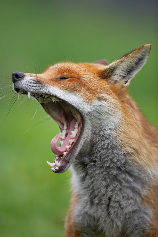 Red Fox - Vulpes vulpes - close-up of male yawning. West Sussex. May 2006.