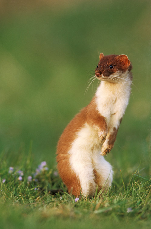 Stoat (Mustela erminea) adult stood upright in grass meadow. UK.