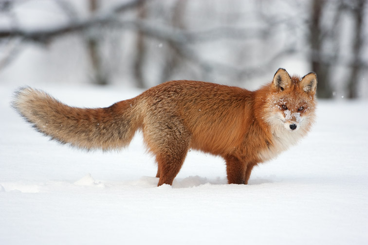 Red fox (Vulpes vulpes) adult in deep snow. Norway. March 2008