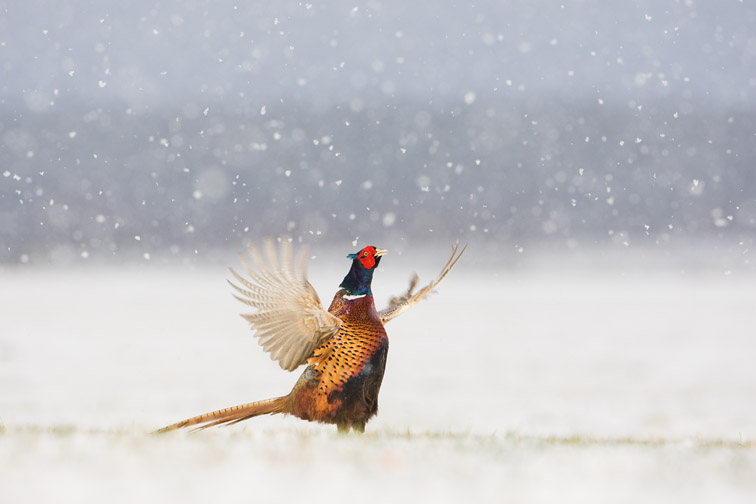 Pheasant Phasinaus colchicus adult male displaying in falling snow. Scotland. March
