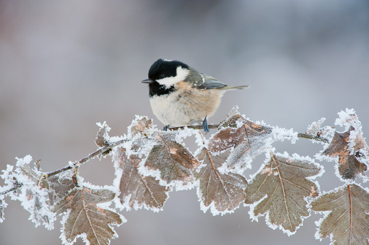Coal tit (Parus ater) adult perched in winter, Scotland, UK