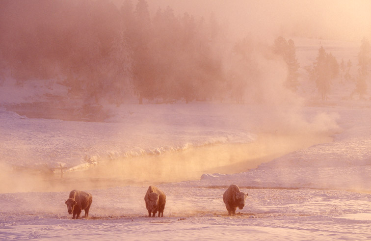 Bison (Bison bison) at dawn in winter. Upper Geyser Basin, Yellowstone National Park, Wyoming, USA. February.