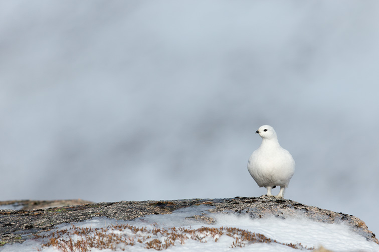Ptarmigan (Lagopus mutus) in white winter plumage perched on rock