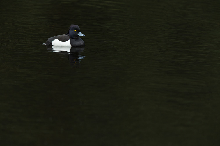 Tufted Duck (Aythya fuligula) adult male in breeding plumage on dark water