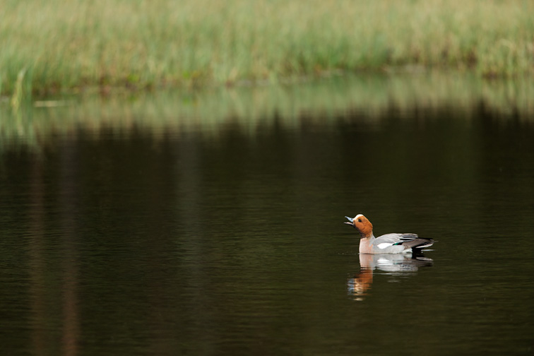 Wigeon (Anas penelope) adult male on water in wetland habitat