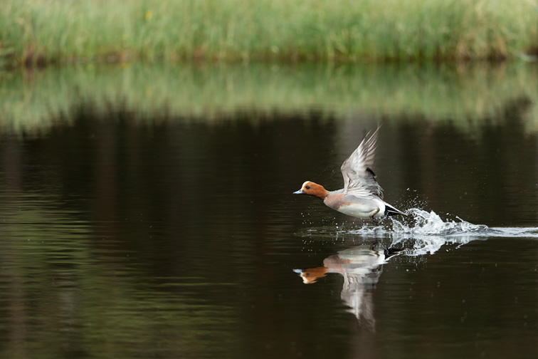 Wigeon (Anas penelope) adult male taking off from water in wetland habitat