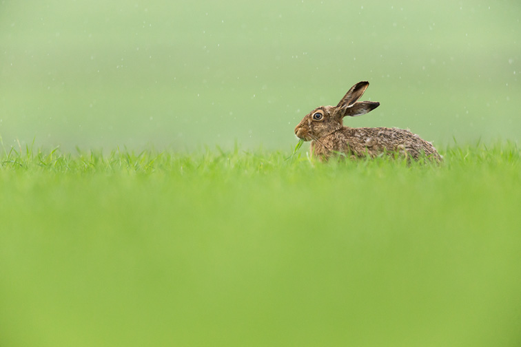 Brown Hare (Lepus capensis) feeding on fresh green grass in rain