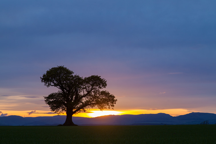 Isolated tree in field silhouetted at sunset, Scotland