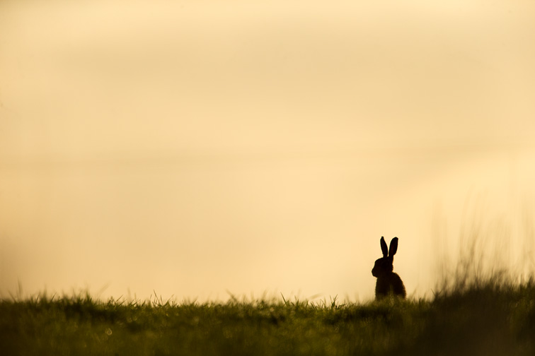 Brown Hare (Lepus capensis) silhouetted in field at sunrise